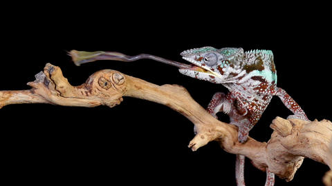 Panther Chameleon Shoots It's Tongue Out To Catch A Cricket Footage