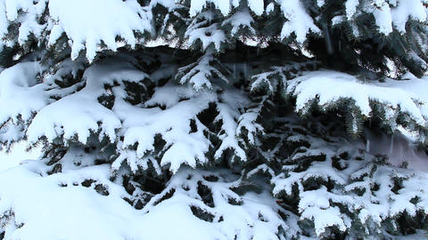 Fur-tree covered with snow. Christmas tree in snow in winter forest Footage