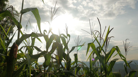 Corn Field With Sunlights Live Action