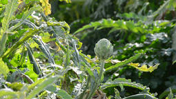 Artichoke vegetable in branch in a agricultural plantation at sunset Footage