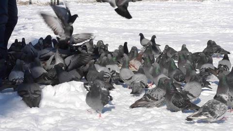 Feeding pigeons in winter sunny day ビデオ