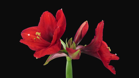 Time-lapse of opening Rondella amaryllis Christmas flower in RGB + ALPHA matte f Footage