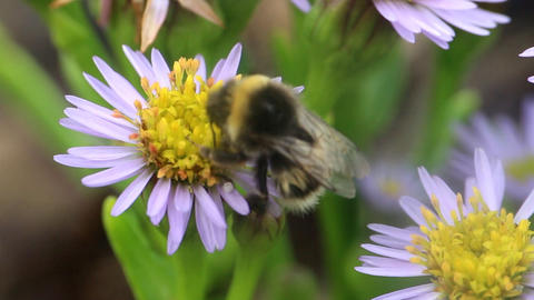 summer Bumble bee insect flower macro Footage