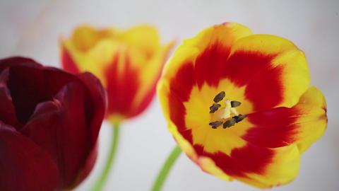 Fresh tulips 1 ビデオ