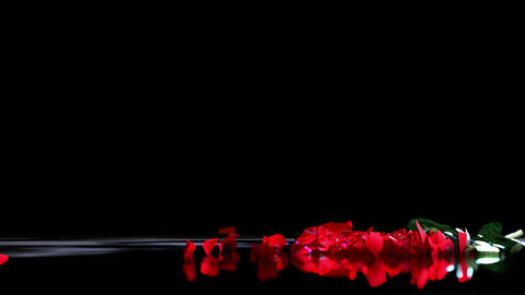 Red Love Rose Falling to Ground and Break POV Shot Slow Motion CG動画素材