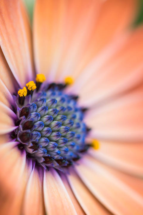 Closeup of colourful osteospermum flower or cape daisy Photo