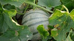 Melon fruit, cantaloupe charentais, in a agricultural plantation Footage
