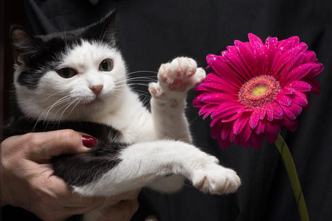 Cute black and white cat touches flower with paw sitting on hands of mistress Photo