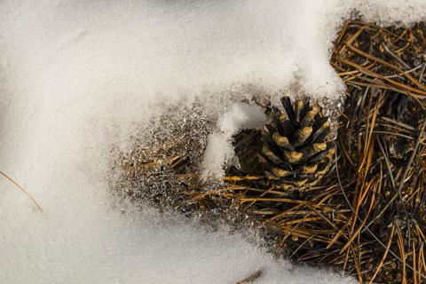 Pine cone in the snow Fotografía
