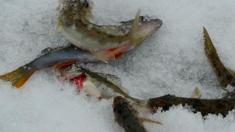 live fish on ice Footage