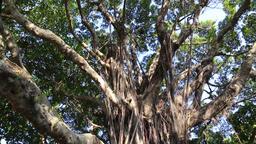 India laurel fig tree Jieshou Park Taipei Taiwan Image