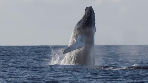 Extremely rare shot of a full Humpback Whale breach Live Action