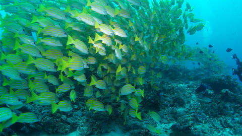 Blue Banded Snapper Footage