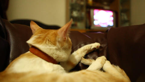 Cat watching Television at home Footage