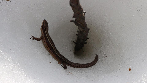 Lizard woke up on warm spring day and climbed on ice surface Footage