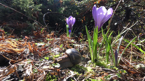 Early spring. Spring flowers crocuses and grape snail Footage