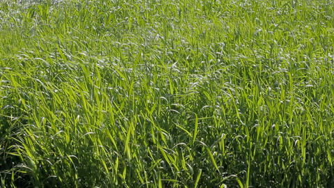 Lush green meadows for haymaking forage grass Footage