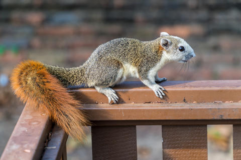 Large gray squirrel eating Photo