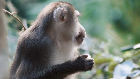 Monkey sitting on a branch Footage