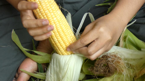Close up shot hands of woman peeling fresh raw sweet corn prepare for cook Footage