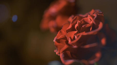 Red Roses on dark background ビデオ