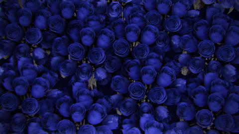 Background from a variety of blue roses Animation