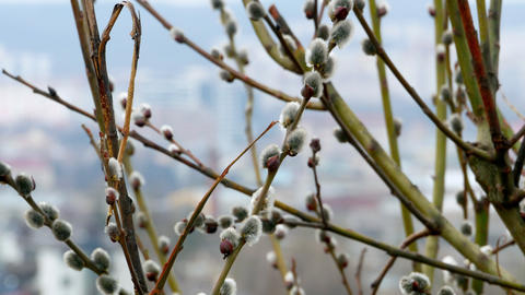 tree branch with buds background, spring 4k Live Action