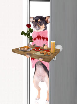 Cute chihuahua bring breakfast for valentine's day Fotografía
