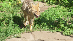 Hungry wild golden jackal running in forest. Canis aureus golden wolf hunting in Footage