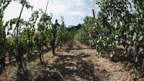 Rows of grapes on wooden mainstays ready to be picked in vineyard Footage