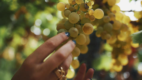Female hands gather bunch of grapes hanging on stem at vineyard Footage