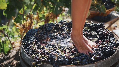 Women legs stomping black grapes in wooden shaft Live Action