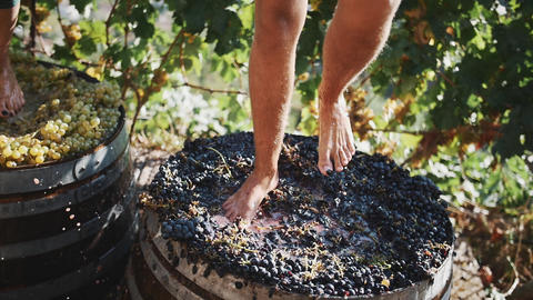 Two pair of male feet stomps grapes at winery making wine Live Action