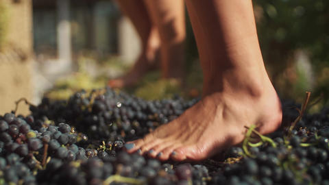Two pair of women feet stomps grapes at winery making wine Live Action