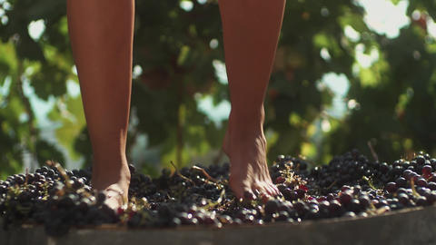 Legs of young woman stomping grapes in wooden barrel Live Action
