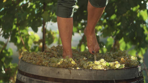 Legs of guy in green shorts stomping white grapes in wooden barrel Footage
