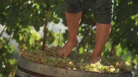 Legs of man in green shorts stomping white grapes in wooden barrel Footage