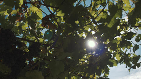 Grape herbs with berries hanging on construction at vinery Footage