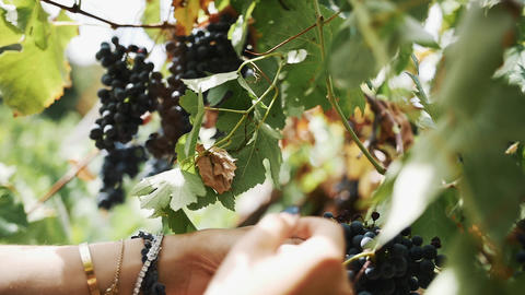 Woman hands gather black grapes hanging on stem at vinery Footage