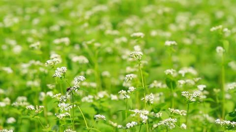 Buckwheat field Footage