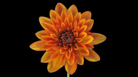 Time-lapse of opening orange dahlia with ALPHA channel Image