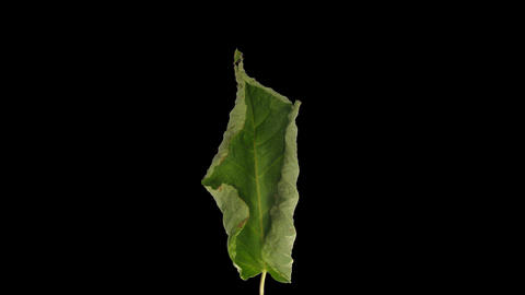 Time-lapse of drying Shrub leaf with ALPHA channel Live Action