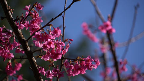 Cherry blossom in spring Image