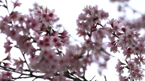 Cherry blossom Sakura in the wind at spring season Footage