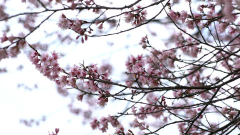 Pink Sakura flowers blooming at park Footage