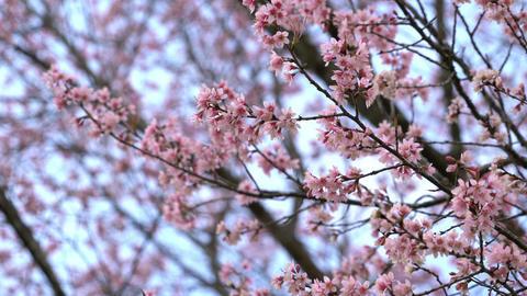 Sakura cherry blossom flowers at spring ビデオ