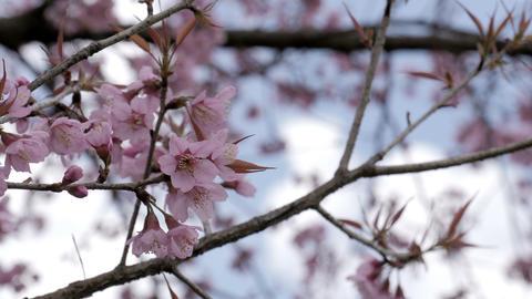 Sakura flower blooming Footage