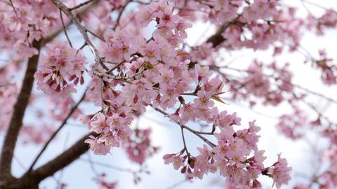 Cherry blossom (Sakura) tree in springtime Footage