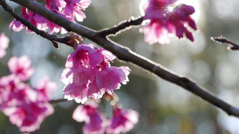 Sunlight shining through Sakura tree at park in spring Footage