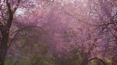 Sakura cherry blossom bloom at park with sunlight in springtime Footage